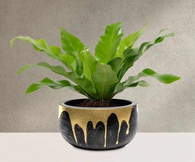 Birds nest fern plant in a black pot