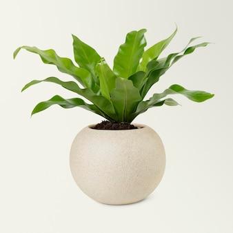 ベージュの鉢に鳥の巣の植物