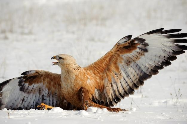 猛禽類-ノスリが雪の上に座っています