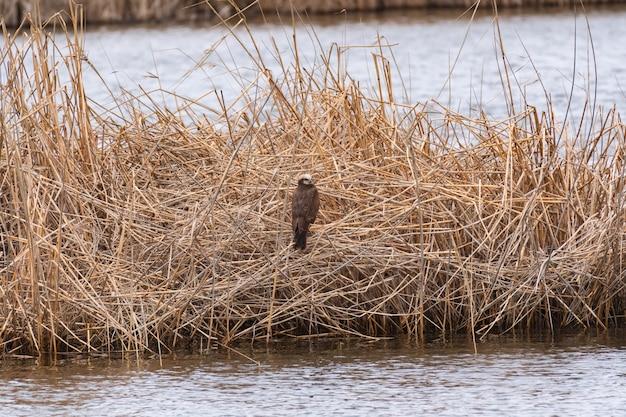 먹이 암컷 습지 해리어 circus aeruginosus의 새가 갈대에 앉아 있습니다.