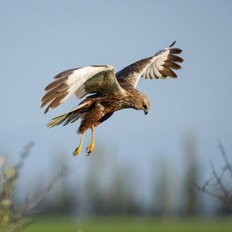 猛禽類-ヨーロッパチュウヒ(circus aeruginosus)。