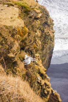 Birds on cliffs in Iceland .
