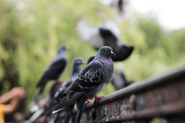 Birds pigeons are sitting on an iron fence a lot of pigeons are sitting and looking at the lake