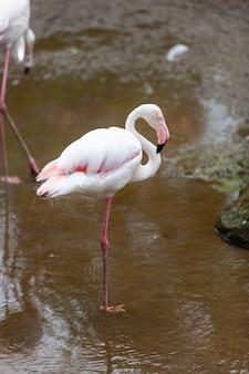 Birds pink flamingo in the zoo.