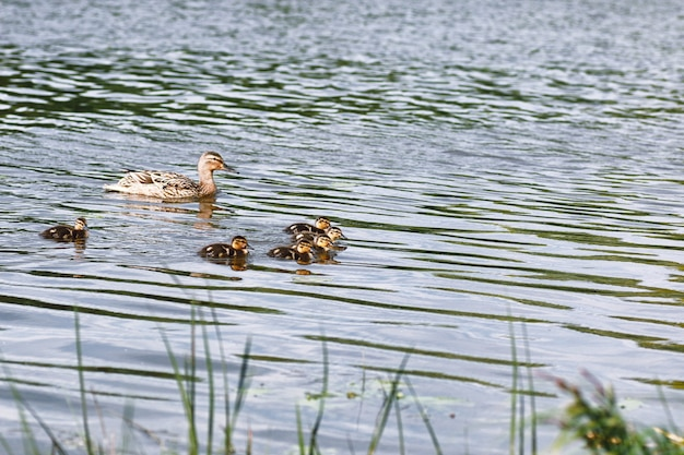 Birds on the pond. a flock of ducks and pigeons by the water. migratory birds by lake.