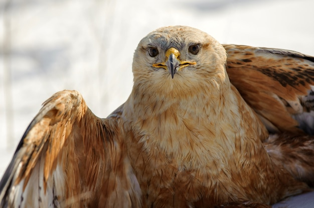 Birds of prey, common buzzard (buteo buteo) sits on the snow. close up..