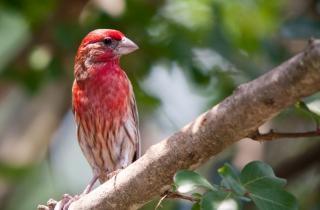 Uccelli, fringuello viola
