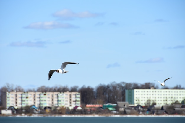 Birds of the seagull fly over the lake water in the city on the background of houses