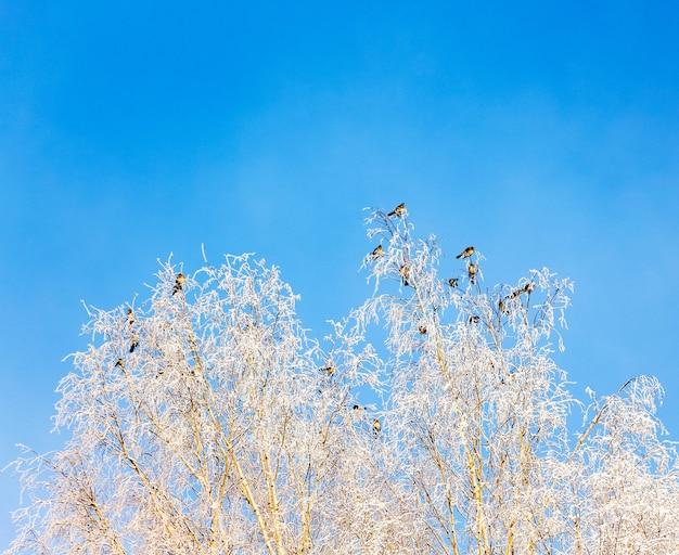 Птицы сидят на ветвях березы в зимнюю морозную погоду на фоне голубого неба.
