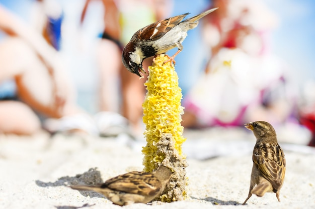 Birds of sparrows eat corn plant seeds on a sunny beach. garbage was thrown out by people