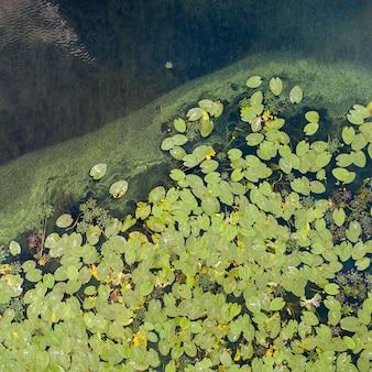 새는 무인 항공기에서 저녁에 여름날 아름다운 수련 꽃, 녹색 잎, 녹색 물이있는 연못으로 봅니다.