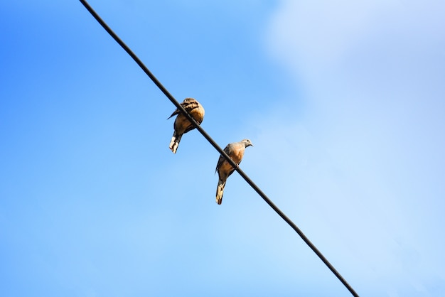 Birds on wires and blue sky background - zebra dove