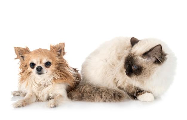 バーマン猫とチワワ