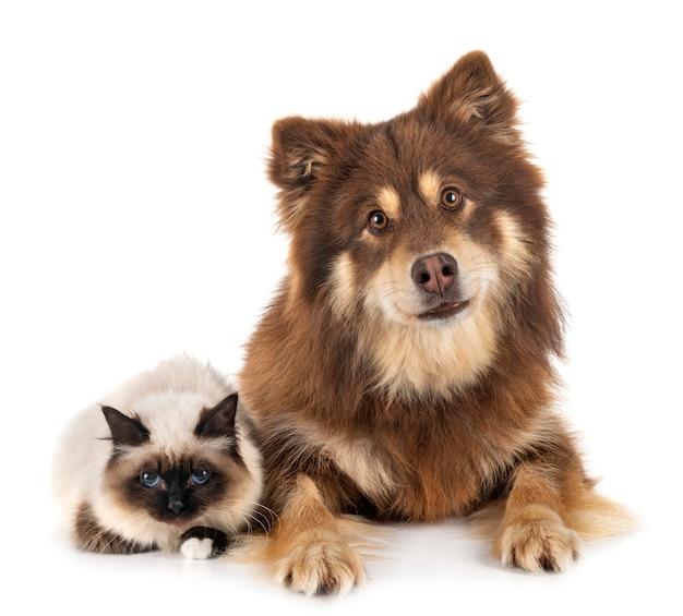 Бирманская кошка и лапинкойра