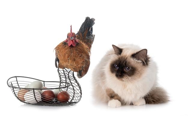 Бирманский кот и петух