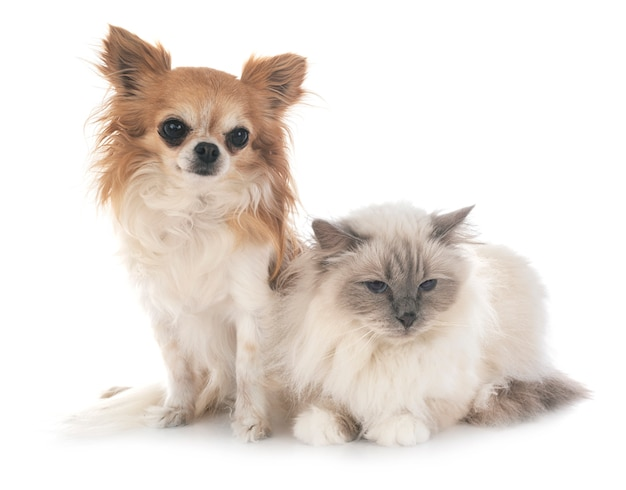 Birman cat and chihuahua