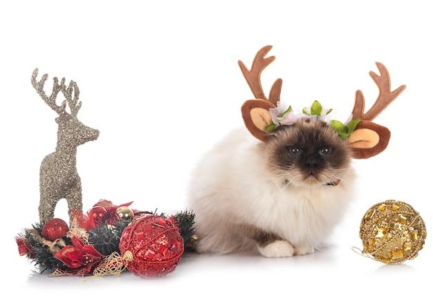 Birman cat in front of white background Premium Photo