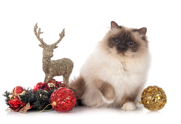 Birman cat in front of white background