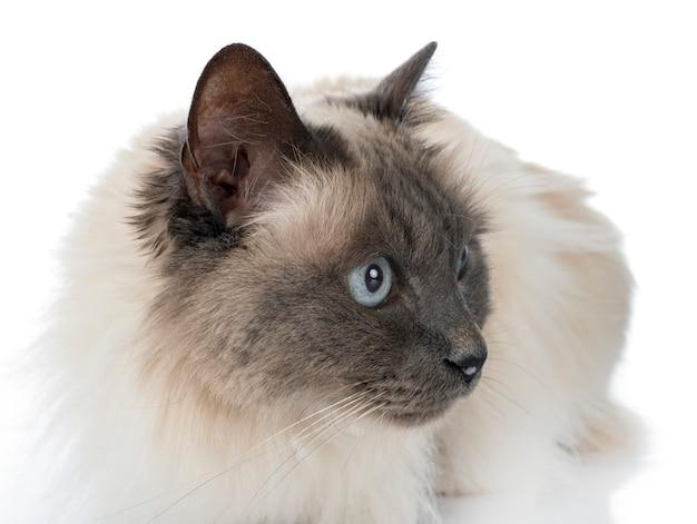 Бирманская кошка на белом фоне