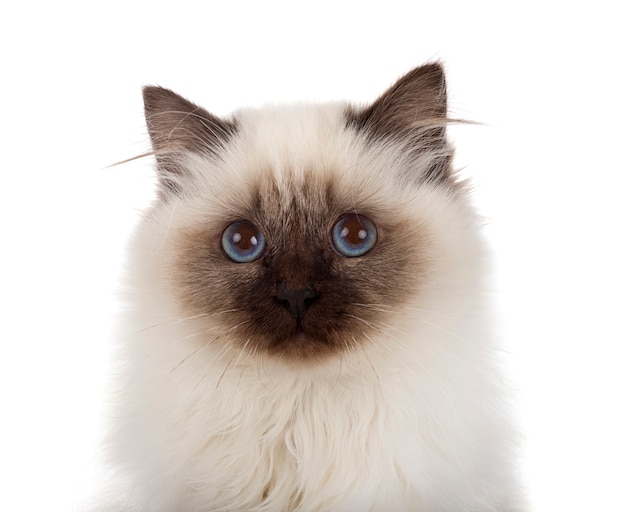 Бирманская кошка, изолированные на белом фоне