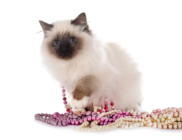 Birman cat isolated on white