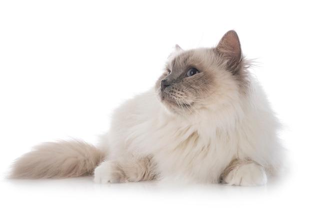 Бирманский кот на белом фоне