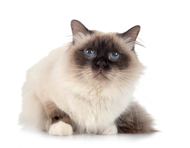 Бирманский кот на белой стене