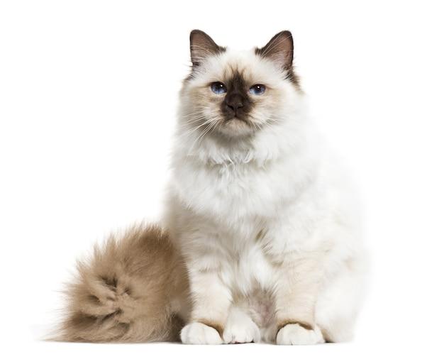 Birman cat sitting, isolated on white