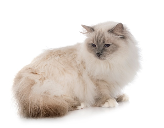 Birman cat in studio