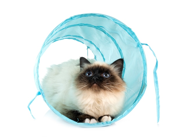 Birman cat in a tunnel toy