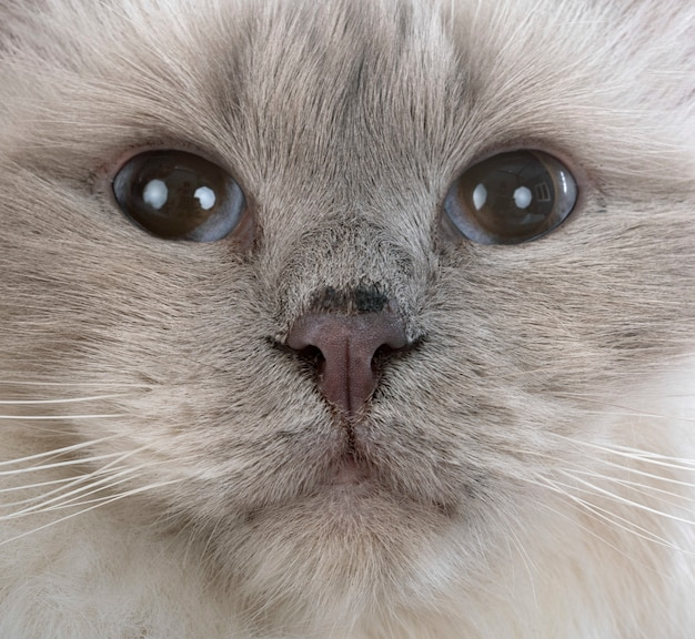 Birman cat on white wall