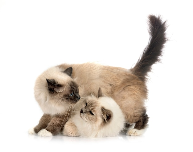 Birman cats in front of white background