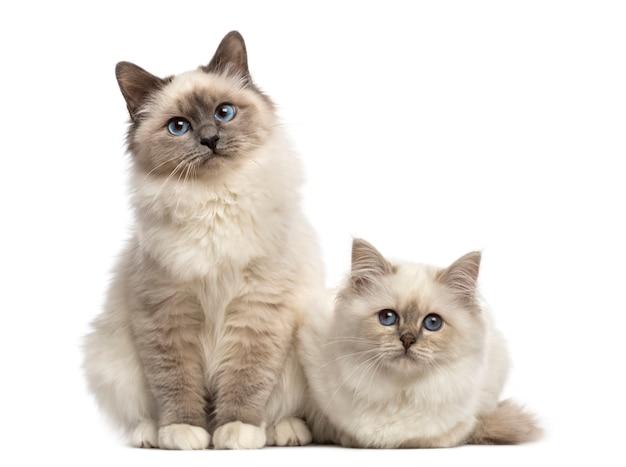Birman cats looking at the camera