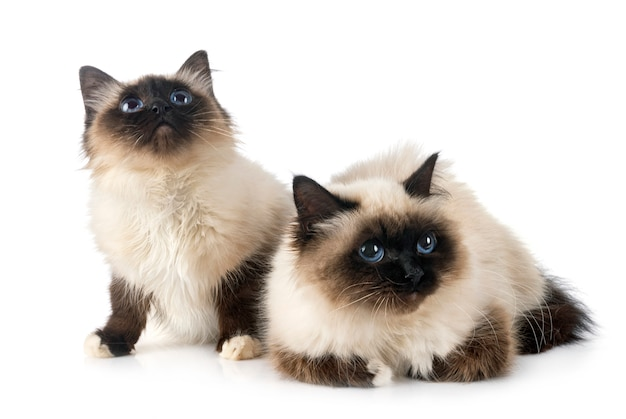 Birman cats in studio
