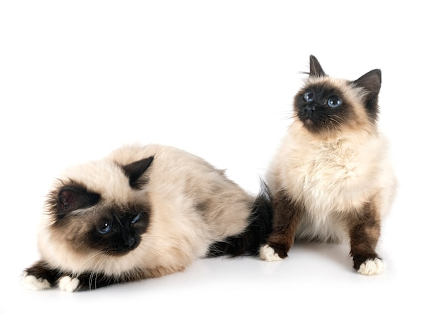 Birman cats on white wall