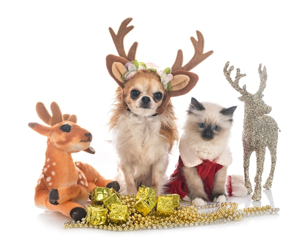 Birman kitten and chihuahua with constumes