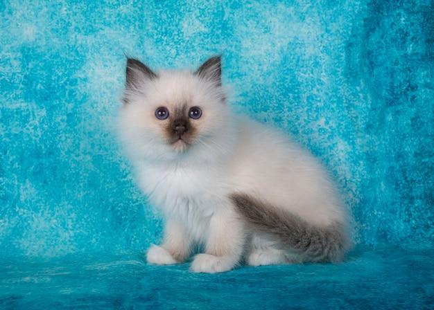 Birman kitten in front of blue wall