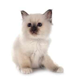 Birman kitten in front of white wall
