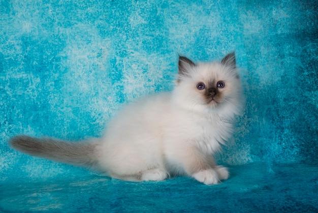 Бирманский котенок перед синей стеной