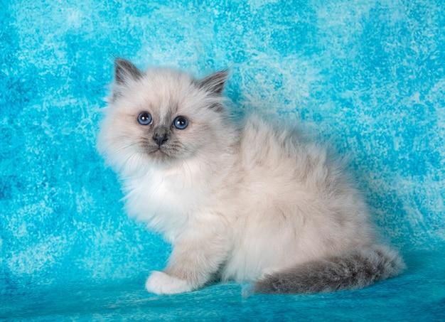 Бирманский котенок перед синей стеной Premium Фотографии