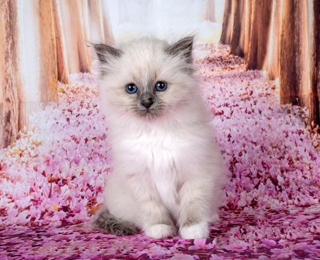 Бирманский котенок перед розовой стеной