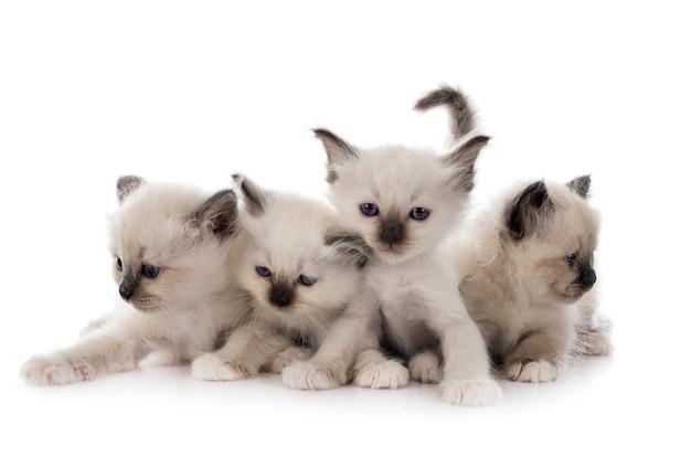 白い背景の前でバーマン子猫