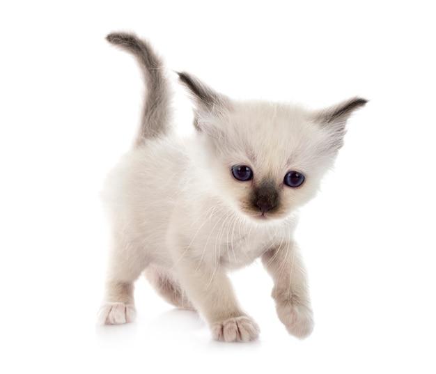 Котенок бирмана на белом фоне