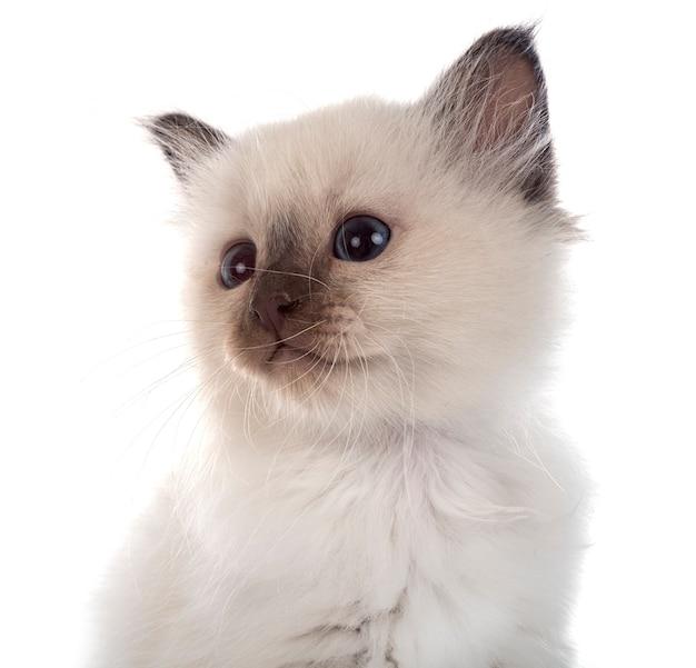 Котенок бирмана перед белой стеной