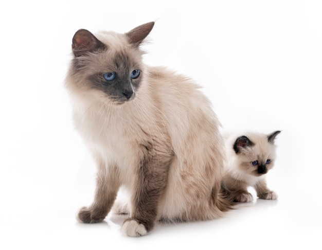 Birman kitten and mother in front on white isolated