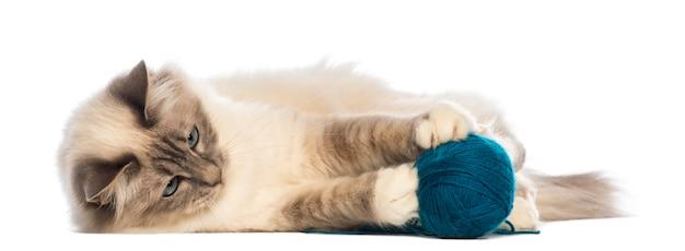 バーマンは横になって、毛玉のボールで遊んで
