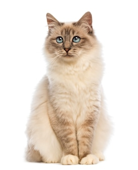 Birman sitting and looking up left