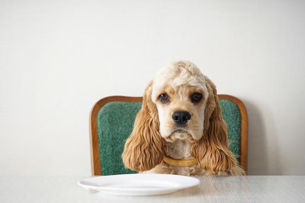 Именинная собака. американский кокер-спаниель