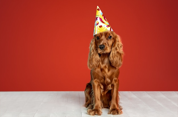 Birthday gift. english cocker spaniel young dog is posing. cute playful brown doggy or pet is sitting on white floor isolated on red wall. concept of motion, action, movement, pets love.