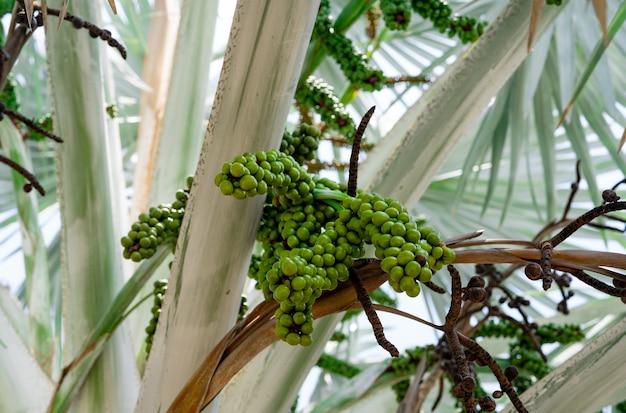 Bismarckia nobilis in the garden closeup round green raw fruit of bismarck palm evergreen palm